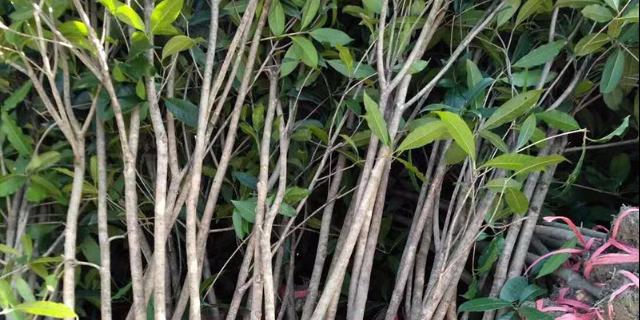 荆州10公分桂花树市场价 咸安区春城苗圃供应