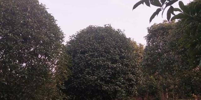 咸宁低分支桂花树多少钱 诚信互利 咸安区春城苗圃供应