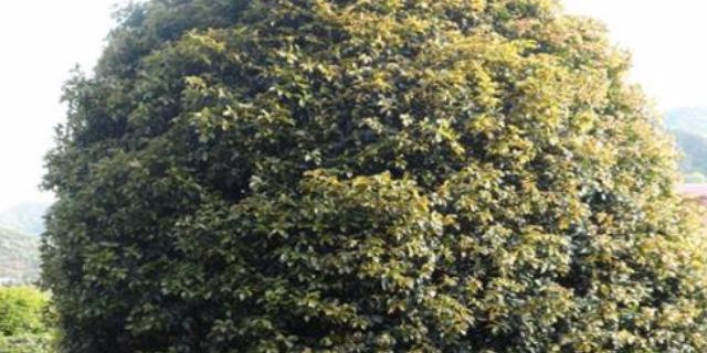 郑州18公分桂花树价格多少 咸安区春城苗圃供应