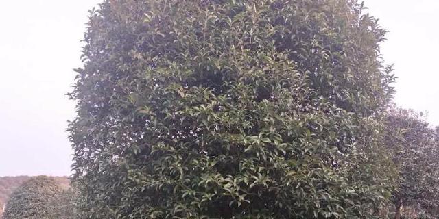 天门15公分桂花树售价 真诚推荐 咸安区春城苗圃供应