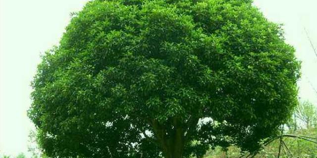 福州12公分桂花树价格表 来电咨询 咸安区春城苗圃供应