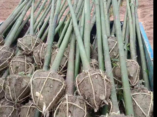 江西14公分香樟市場價格 歡迎來電「咸安區春城苗圃供應」