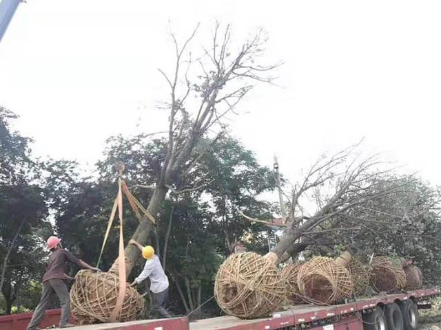 14公分香樟树售价 诚信服务「咸安区春城苗圃供应」
