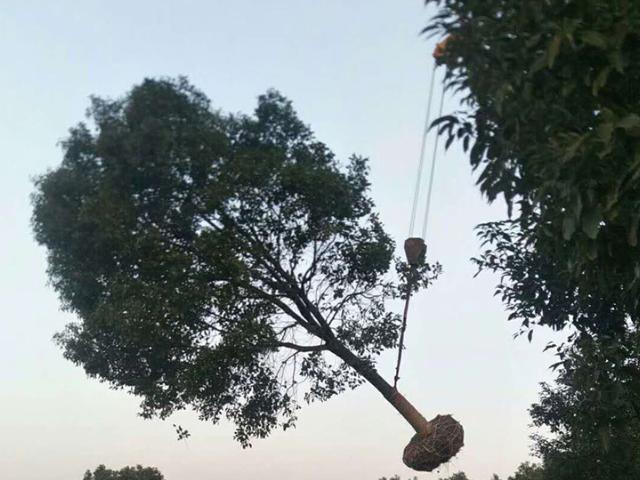 随州8公分桂花树批发 值得信赖 咸安区春城苗圃供应