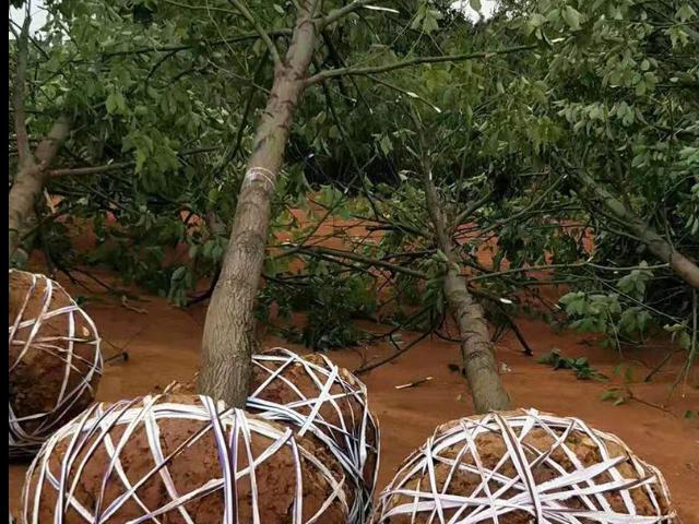 福州15公分桂花树多少钱 贴心服务 咸安区春城苗圃供应