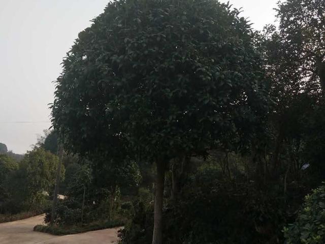 南昌10公分香樟树多少钱一株 贴心服务 咸安区春城苗圃供应