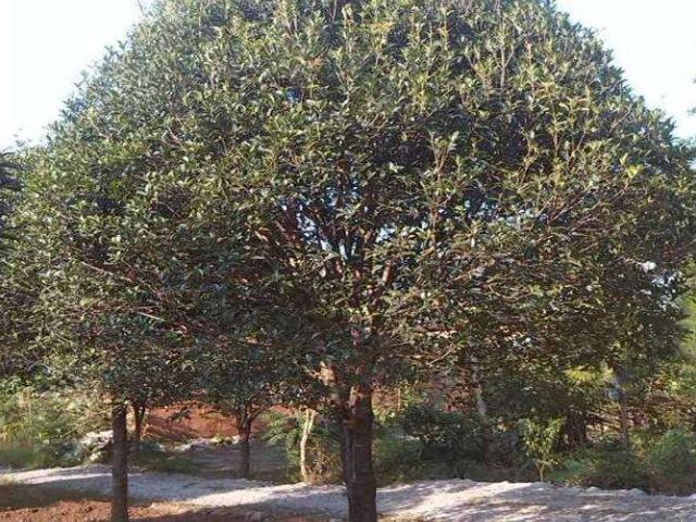 20公分香樟哪有卖的 推荐咨询 咸安区春城苗圃供应