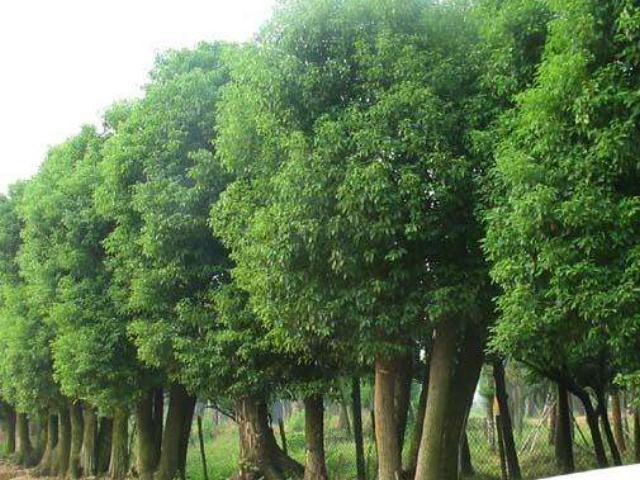 福州7公分香樟树批发报价 铸造辉煌 咸安区春城苗圃供应