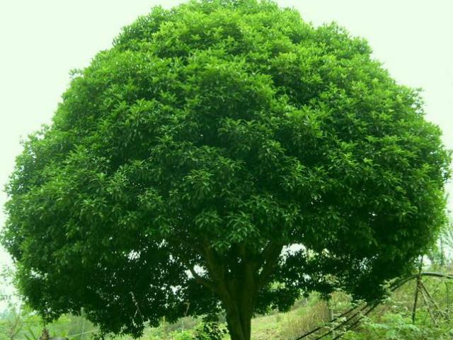 江西15公分香樟树多少钱一株 来电咨询 咸安区春城苗圃供应