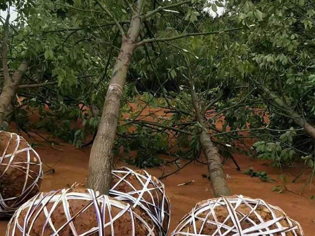孝感9公分香樟市场价格 铸造辉煌 咸安区春城苗圃供应