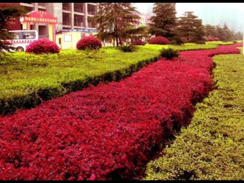 岳阳红叶石楠苗小苗基地 信息推荐「咸安区春城苗圃供应」