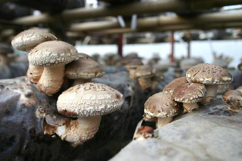 西陵区稀有食用菌怎么保存  宝祥食品