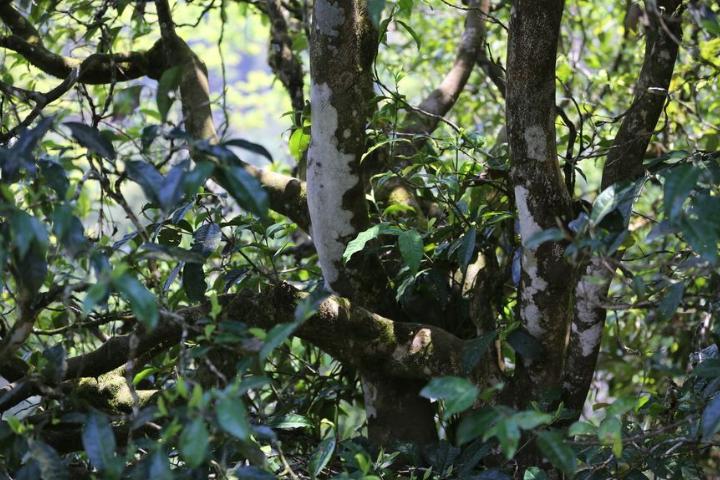勐庫大雪山古樹普洱茶多少錢一斤 有口皆碑「云南逸仕緣普洱古樹茶廠家供應」