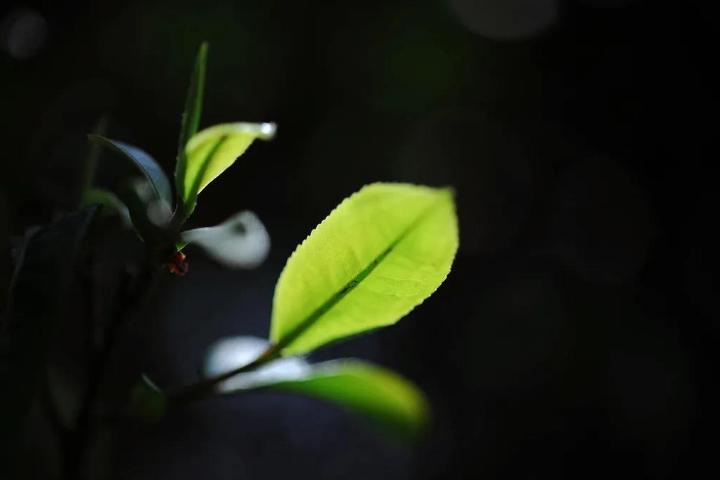 云南勐库磨烈古树茶行情 推荐咨询 云南逸仕缘普洱古树茶厂家供应