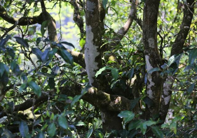 大雪山普洱茶品牌 服务至上 云南逸仕缘普洱古树茶厂家供应
