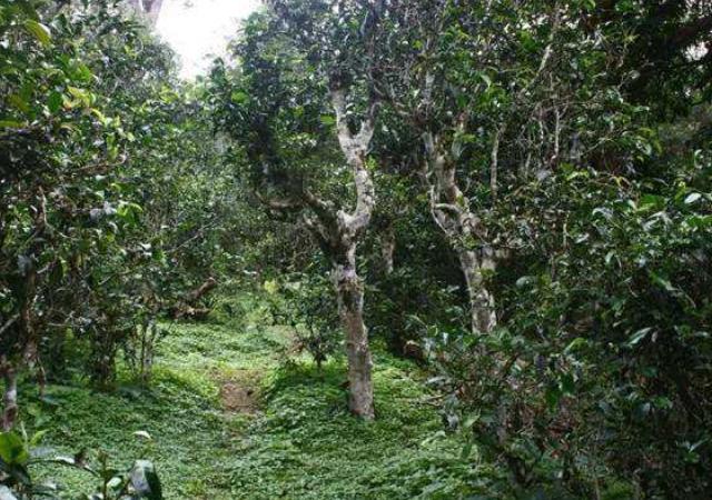 普洱熟茶怎么保存 客户至上 云南逸仕缘普洱古树茶厂家供应