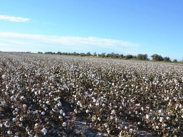 池州有机棉价格 诚信经营「中恒大耀纺织供应」