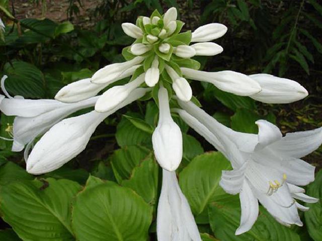 春季宿根花卉东北,宿根花卉