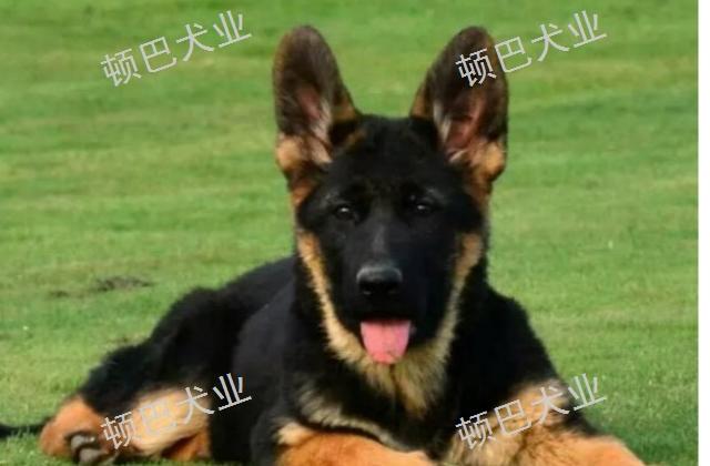 昆明周边高级训犬口令 欢迎咨询「昆明顿巴训犬训犬师培训供应」