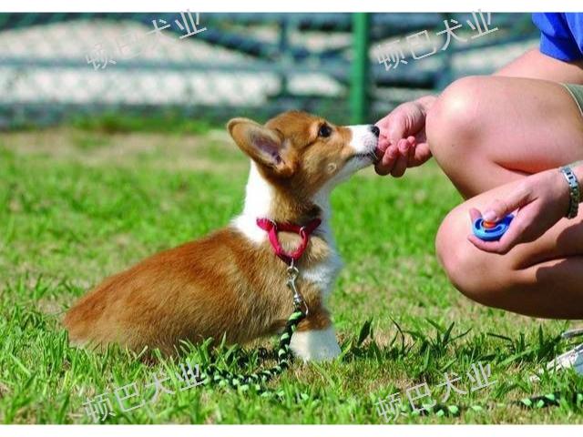 云南代訓犬學費多少錢 貼心服務 昆明頓巴訓犬訓犬師培訓供應