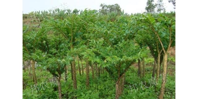 一代花魔芋种植每亩产量是多少 欢迎来电「富源县富村镇邦农魔芋供应」
