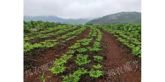 曲靖富源白魔芋种植如何防治病害,魔芋种植