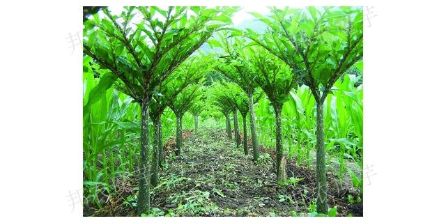 曲靖二代魔芋种植多久可以收成