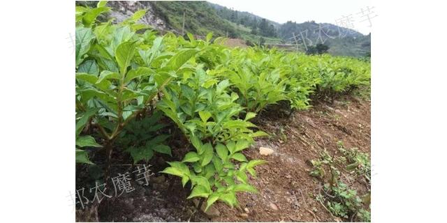 贵州珠芽魔芋种植技术培训 珠芽魔芋种 云南邦农魔芋种子供应
