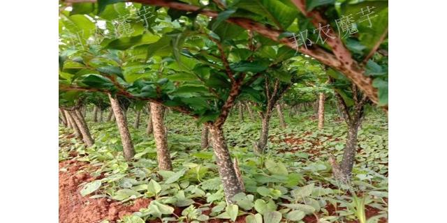 曲靖一代魔芋种植季节是什么时候 白魔芋种 云南邦农魔芋种子供应