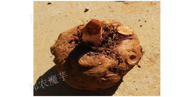 湖南珠芽魔芋種子廠家批發,魔芋種子