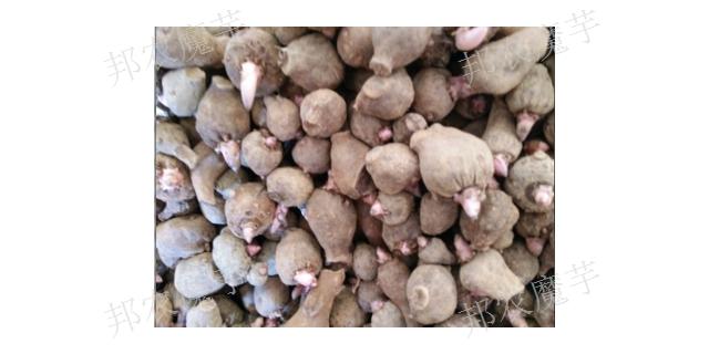 曲靖二代魔芋种子怎么育种 欢迎咨询 云南邦农魔芋种子供应