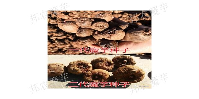 二代魔芋種子怎么種植「云南邦農魔芋種子供應」