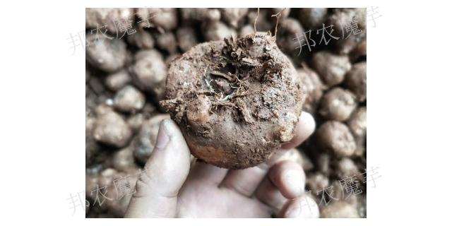 云南紫魔芋种子货源 诚信经营「云南邦农魔芋种子供应」