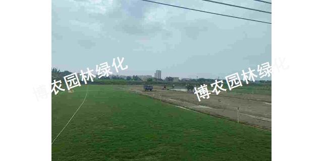江西兰引三号草坪一平方多少钱