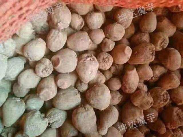 遵義花魔芋種子「云南坤達魔芋種子批發供應」