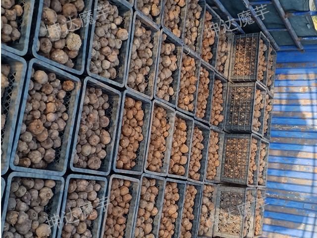 云南曲靖一代魔芋种子批发厂家 云南坤达魔芋种子批发供应