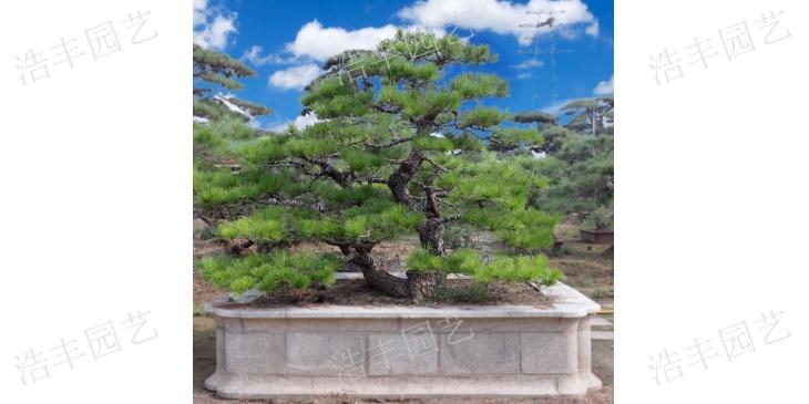 龙岩2米景观松 推荐咨询「浩丰园艺场供应」