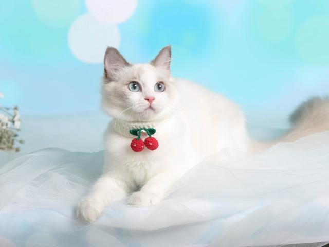 重庆血统布偶猫舍「上海恒善宠物供应」