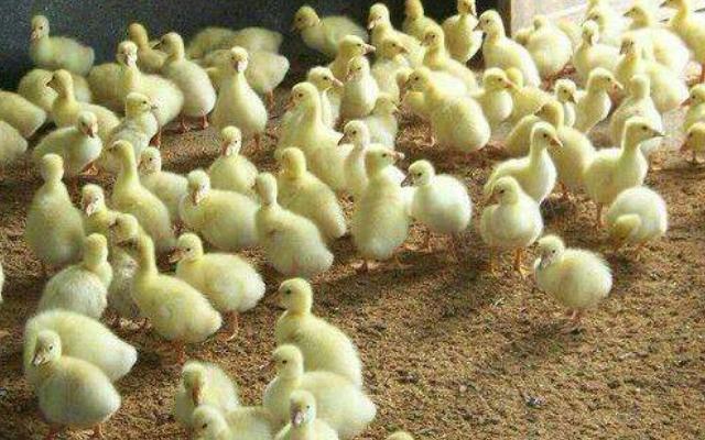 棲霞百日綠殼蛋雞苗服務商 歡迎來電「海陽市鴻牧種雞供應」