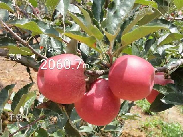 曲靖新品种苹果苗哪里有 云南曲靖久田苗木基地供应