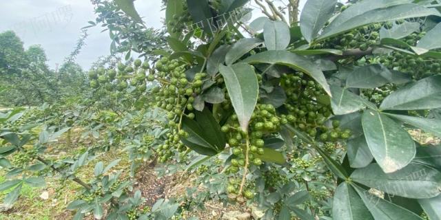 重慶自制藤椒油作用