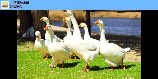 湖北黑瑶鸡苗批发联系电话 诚信经营「广西南桂家禽孵化供应」