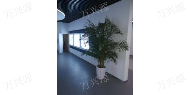 晋江发财树出租 欢迎咨询「泉州万兴源绿植花卉供应」