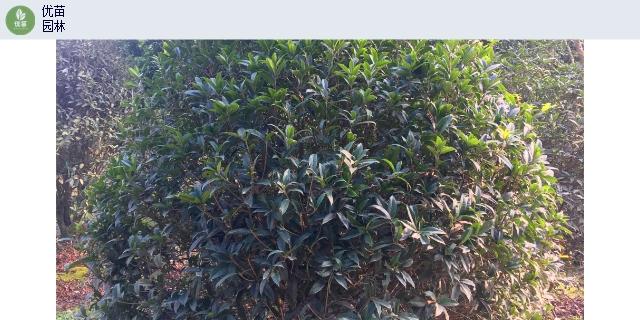 重慶造型苗木種植基地「四川省優苗環保工程供應」