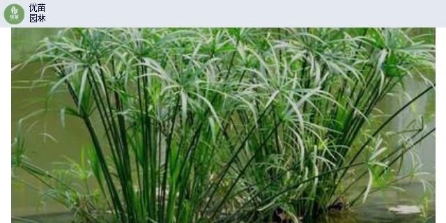 成都矮蒲葦價格「四川省優苗環保工程供應」