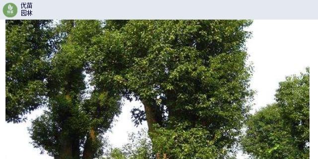 陜西枇杷樹米徑16-20公分,喬木