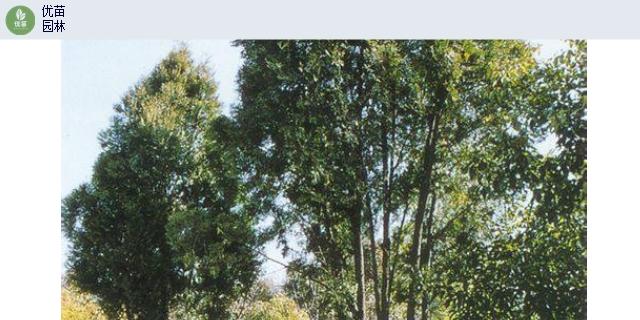 重庆小叶榕地径4-6公分,乔木