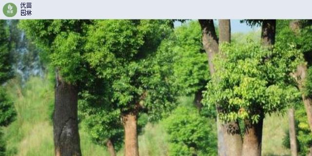 陕西丛生朴树米径21-25公分「四川省优苗环保工程供应」