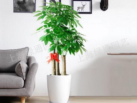 上海转基因花卉销售系统「上海绿通花卉园艺供应」