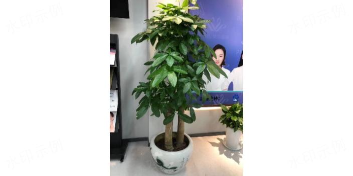 楊浦區幸福樹租賃 誠信服務 上海鑫武景觀綠化供應